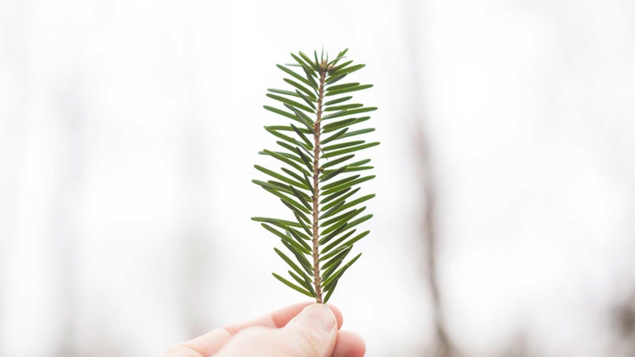 the-amazing-benefits-of-pine-pollen